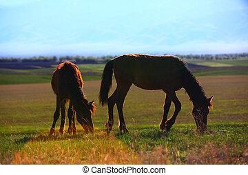 pâturage, chevaux, dans, coucher soleil