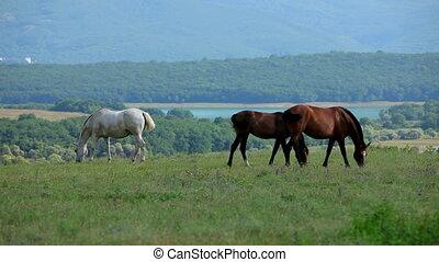 pâturage chevaux, pré, trois