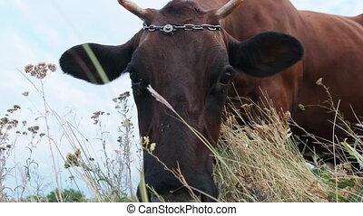 pâturage, jour, regarder, pré, ensoleillé, fond, vache, appareil photo, ciel
