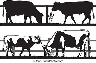 pâturage, vache, taureau