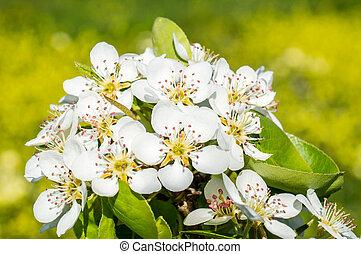 päron, blomningen