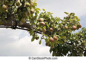 päron träd, välva