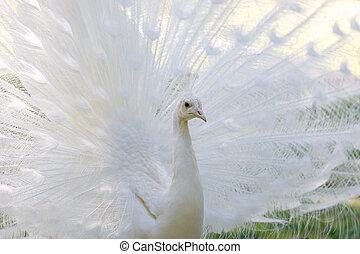 påfugl, åbning, forbløffende, hale, hvid, dets