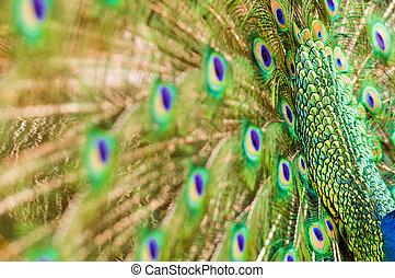 påfugl fjer