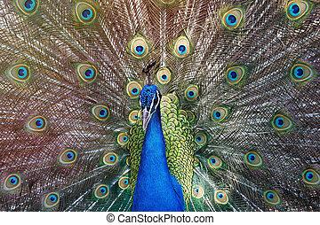 påfugl, forbløffende, hans, udstilling, during