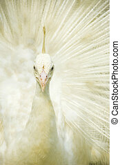 påfugl, hvid