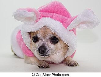 påsk kanin, chihuahua