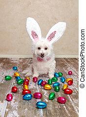påsk kanin, hund, tittande vid, choklad eggar