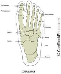 pé, esqueleto, perna humana