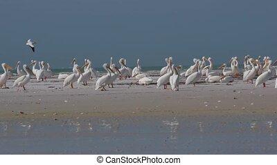 pélican, blanc, colonie, floride, oiseaux