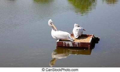 pélicans blancs, flotter, dans parc, lac