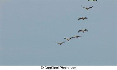 pélicans, -, oiseaux