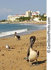 pélicans, plage, mexique
