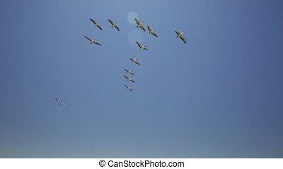 pélicans, voler dans formation