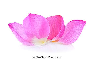 pétala, flor lotus, branco, fundo