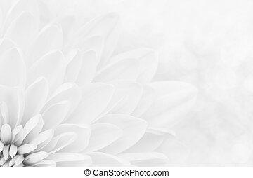pétales, chrysanthème, blanc, coup, macro
