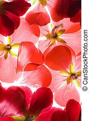 pétales, fleur, arrière-plan rouge, backlit