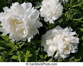 pétales, plante, fleur, blanc