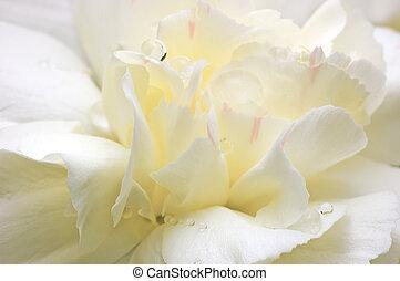 pétales, résumé, fleur, blanc, macro