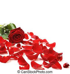 pétalos, frontera, rojo, y, rosa