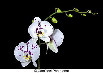 pétalos, orquídea, cerise, puntos, phalaenopsis