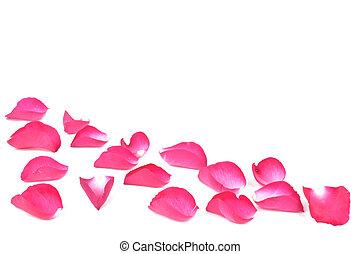pétalos, rosa, rosa