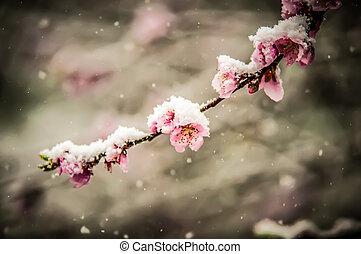 pêssego, flor, em, neve