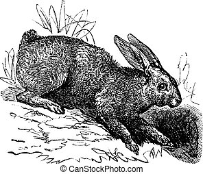 północny, zając, (lepus, americanus), albo, snowshoe kocica,...