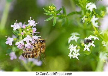 pólen, abelha, reunião, orégano