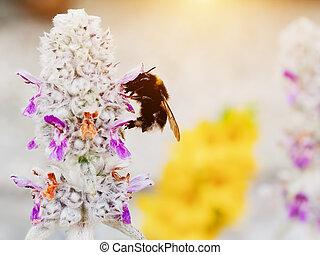 pólen, bumble, carregando, bumblebee, abelha, flor, ou