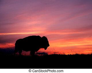 pôr do sol, bisonte