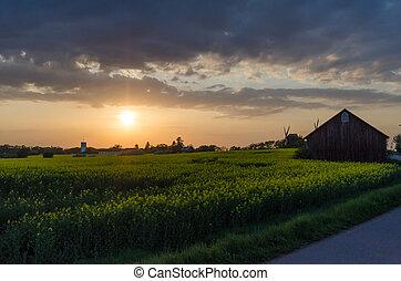 pôr do sol, por, um, canola, campo