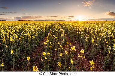 pôr do sol, sobre, canola, campo, com, caminho, em, eslováquia, -, panorama