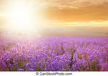 pôr do sol, sobre, field., lavanda