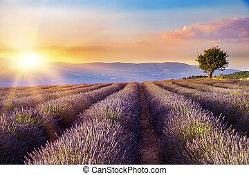 pôr do sol, sobre, um, lavanda, field.