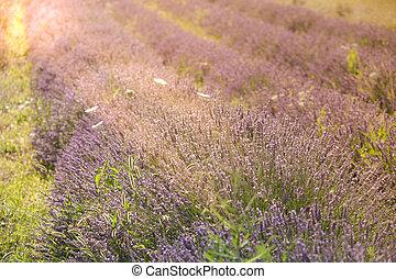 pôr do sol, sobre, um, verão, cor campo alfazema, em, provence, frança