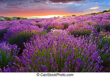 pôr do sol, sobre, um, verão, cor campo alfazema