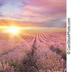 pôr do sol, sobre, um, verão, lavanda, field.