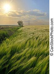 pôr do sol, sobre, verde, centeio, campo