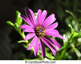 púrpura, 2, margarita