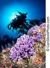 púrpura, barrera coralina
