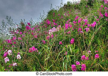 púrpura, campo de flores
