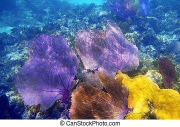 púrpura, coral, ventilador, gorgonian, mar
