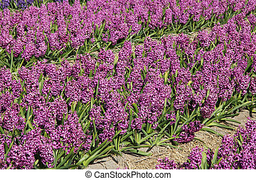 púrpura, hyacints