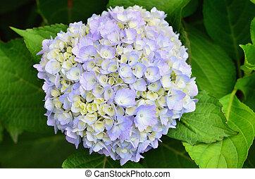 púrpura, hydrangea, flores, -