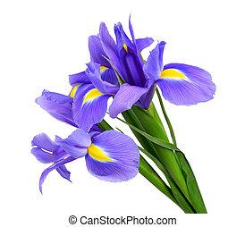 púrpura, iris, flor, aislado