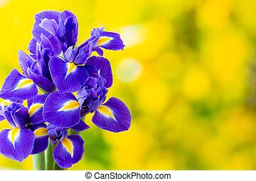 púrpura, iris, flor, amarillo, fondo.