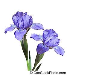 púrpura, iris, flores