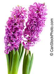 púrpura, jacintos