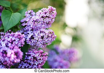 púrpura, lila